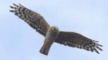 Hen harrier plunges towards extinction in England