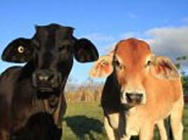 florida scientists create cow that survives rising temps