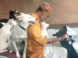 indian moped rider cruises along the motorway with 3 dogs