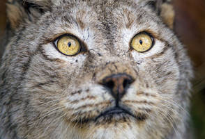 The Missing Lynx No Longer? Britain Gets Back An Iconic Cat