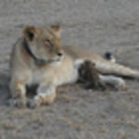 For the first time, a wild lioness is photographed nursing a baby leopard