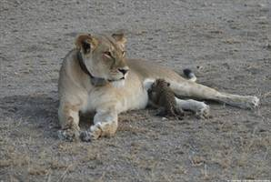 A wild lioness nurses a baby leopard in this 'once-in-a-lifetime' photo