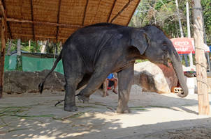 world animal protection report reveals exploitation of thousands of elephants in asian countries, including india