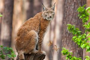 lynx could be released into the forest of dean to control the boar