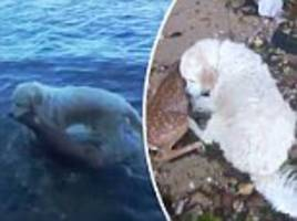 New York Golden Retriever rescues drowning fawn