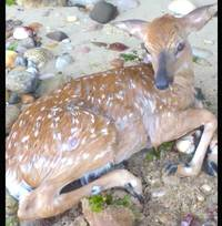 Baby deer rescued by dog in Long Island Sound needs second rescue; video