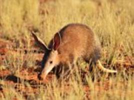 Climate change could spell the end of the aardvark