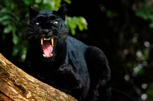 Is this more evidence of a big cat roaming Gloucestershire?