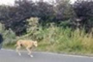 a 'stray dog' was the unusual cause of rush hour traffic on a...