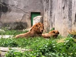 Lion 'kills 10-year-old girl just metres from her home in Zimbabwe'
