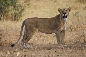 African lion kills 10-year-old girl behind her house