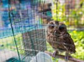 harry potter spells disaster for indonesia's ghost owls