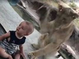 baby is oblivious to lion trying to attack him at a zoo