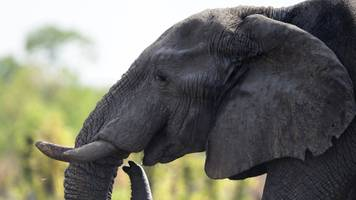 zimbabwe: trained elephant kills tour guide in victoria falls park