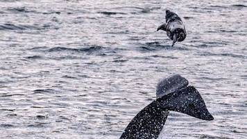 Killer whale photographed flipping seal into the air off Shetland