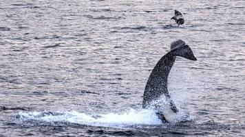 Killer whale pictured flipping seal into the air off Shetland