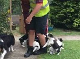 Moment Sainsbury's driver is ambushed by SEVEN puppies