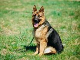 study reveals dog shows could be deadly for alsatians