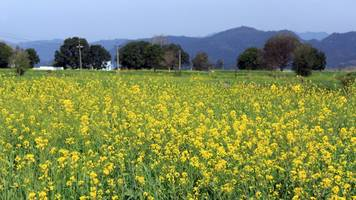 will decide on commercial release of gm mustard crop in 45 days: centre to sc