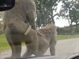 baboons start mating on car bonnet during family zoo trip