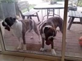 boxer dogs 'help clean windows' by licking them