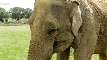 elephant at zsl whipsnade zoo gets a pedicure