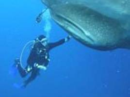 divers save whale sharks caught fishing nets in indonesia