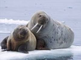 walruses are turning up early in alaska as sea ice shrinks