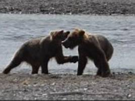 Bear cubs wrestle by a river bank as mummy bear watches