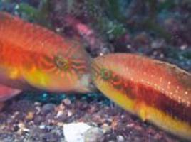 Kissing fish in Indonesia are battling for territory