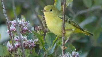 hundreds flock to see american yellow warbler in portland