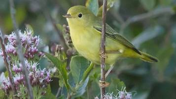 video shows 'first american yellow warbler sighting in england'