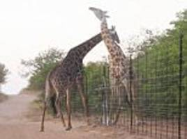 South African giraffes swing at each other over fence