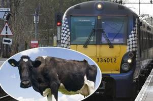 some scotrail trains not moo-ving on time as a cow is on the tracks