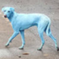 The sad reason these dogs are turning blue