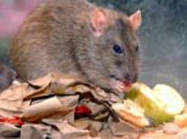 200 million rats will invade homes this autumn