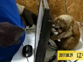 abused slow loris hides away from rescuers in china