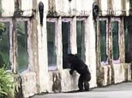 chimpanzee sparks panic at taiwanese zoo after escaping