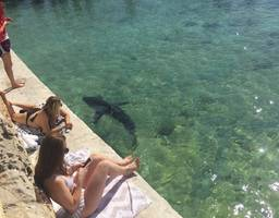 Rescued great white shark thrills onlookers at beachfront pool; video, photos