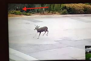 bow hunter caught on video shooting deer within city limits of l.a. suburb