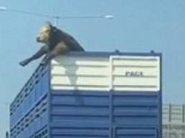 cow sticks head out of truck on melbourne highway