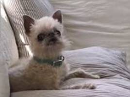 hilarious little dog sounds like a chicken when he barks