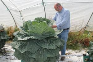 trying to grow the world's biggest cabbage