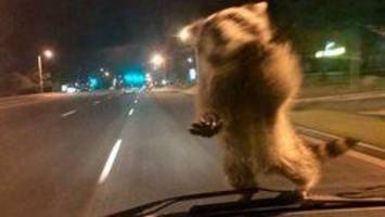 Furry hitchhiker? Raccoon jumps on moving Colorado police van, takes a ride