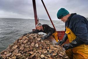 two-man crew scotland's last remaining 'natural' oyster fisherman