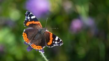 Mild weather helps Red Admiral butterfly births