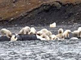 beached whale attracts more than 200 polar bears