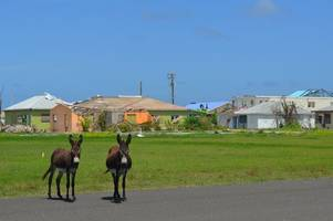 devon donkey charity flies to caribbean to save animals after hurricane irma