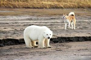 polar bear cub mysteriously shows up far south of where it should be
