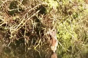 a fox found hanging from a tree was saved from drowning